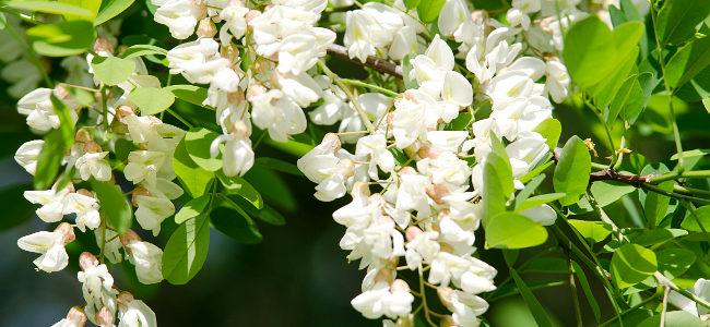 z natury: akacja – kwiatki w cieście naleśnikowym