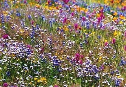 z natury: syrop kwiatowy wczesnoletni