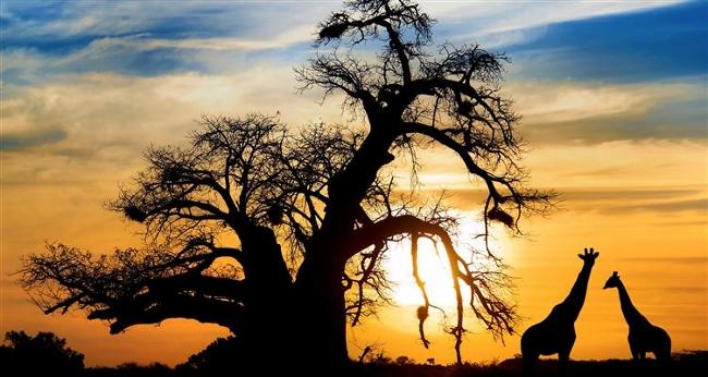 baobab zyrafy