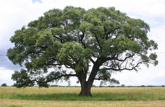 marula drzewo