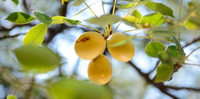 marula owoc
