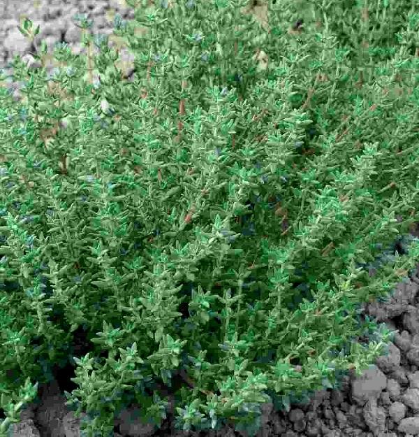 tymianek thymus vulgaris