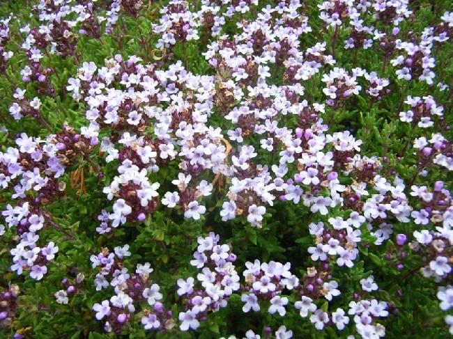 tymianek kwiaty