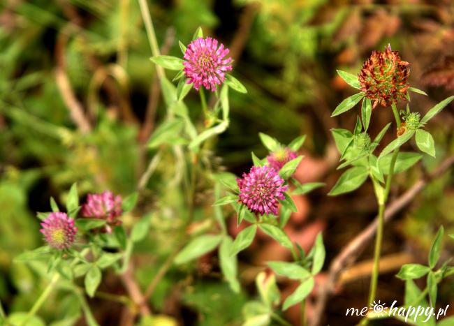 koniczyna czerwona trifolium pratense