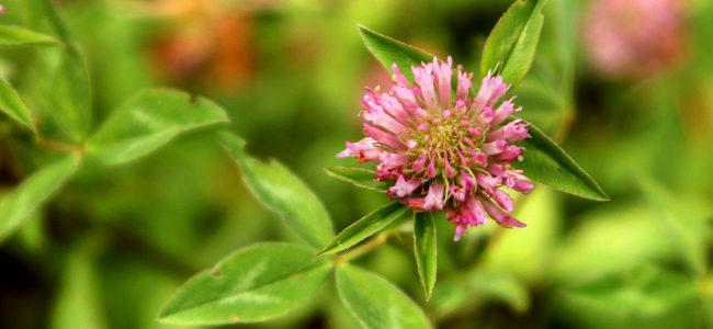 koniczyna czerwona / trifolium pratense
