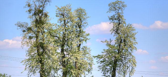 akacja / robinia akacjowa