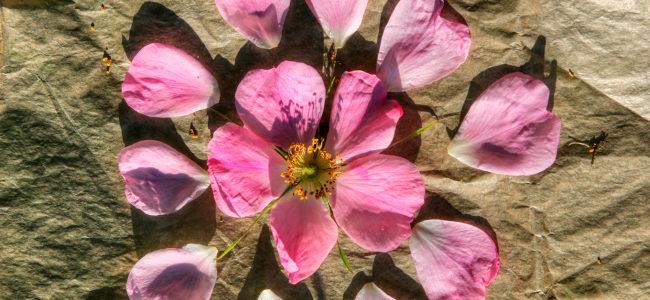 z natury: dzika róża – nalewka na płatkach