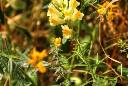 lnica pospolita / linaria vulgaris