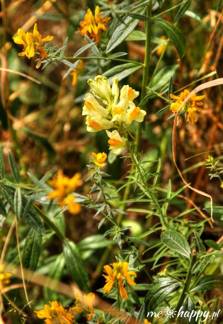 lnica pospolita Linaria vulgaris