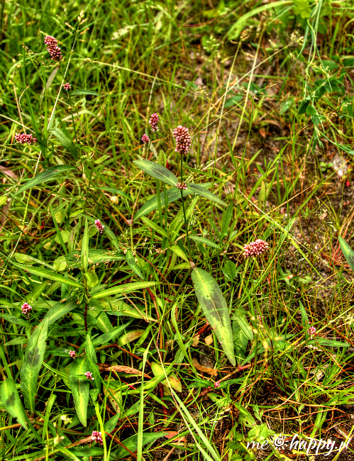 rdest plamisty polygonum persicaria