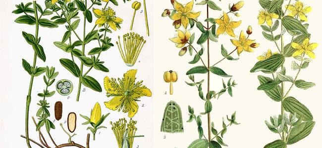 Rośliny fotouczulające